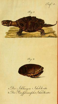 Herrn de la Cepede's Naturgeschichte der Amphibien. v.1. Weimar :Verlage des Industrie = Comptoir's,1800-1802. biodiversitylibrary.org/page/4014277