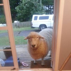 You know you're in NZ when... the sheep want to come in out of the summer storms. Is there anything wetter than a big wet sheep? #lol #petsheep #wetsheep #rain #rainy #studyabroad #studyabroadwaikato #exchange #exchangewaikato #studywaikato #waikato #campuslife #studentlife #newzealand #nzsummer #nofilter #kiwisummer #blessed #travel #study #nz #international #internationalstudent #newplaces #nature #sae2016 #studyabroad2016 #exchange2016 #adventure by waikatostudyabroad
