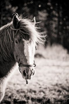Our good ole' boy, Rocky. An adopted Oregon mustang. #mustang horse #horse #western