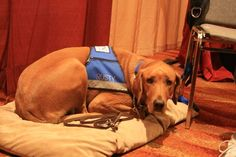 This is Rusty, who is an autism service dog. Autism service dogs are trained similarly to other service dogs, and help their owners gain independence and confidence to perform everyday activities. In honor of Autism Awareness Month