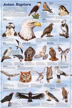 Avian Raptors Birds Of Prey Educational Science Chart Poster 24 x Raptor Bird Of Prey, Birds Of Prey, Love Birds, Beautiful Birds, Bird Identification, Bird Poster, Bird Drawings, Big Bird, Fauna