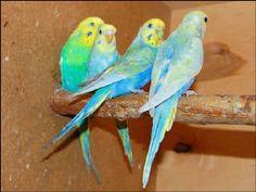 birds birds birds Fancy Parakeet, Parakeet Colors, Budgie Parakeet, Budgies, Opaline, Black Spot, Waves