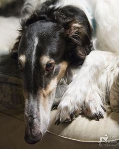 Zip...reminds me of the Borzoi my neighbour down the street had. Real sweetie!