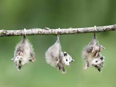 Baby opossums hanging by their tails - so cute! #animal