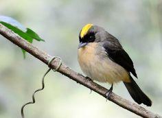 Foto tiê-de-topete (Lanio melanops) por Jarbas Mattos | Wiki Aves - A Enciclopédia das Aves do Brasil
