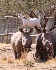 Cabras saltando sobre rinocerontes como si de piedras se trataran