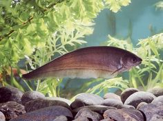 African Knife Fish | African Knife Fish