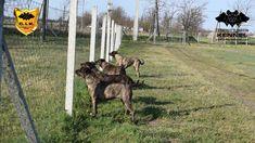 Cimarron Uruguayo guarding at Cerberus Illusion kennel
