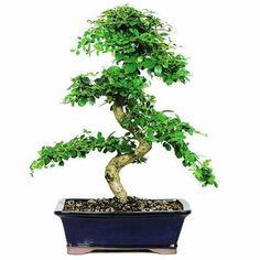 Large Fukien Tea Bonsai Tree For Sale