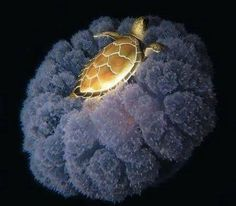Un fotógrafo de aguas profundas capto a una tortuga marina paseando en una medusa ... pic.twitter.com/p3k8qMExkQ