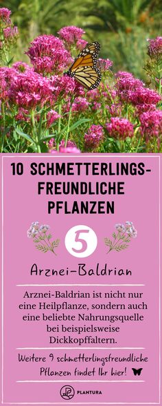 Schmetterlingsfreundliche Pflanzen: Die 10 besten Arten Butterfly-friendly plants – medicinal valerian: In addition to thick-headed butterflies, many other butterfly species. Butterfly Species, Butterfly Plants, Big Butterfly, Herb Planters, Flower Planters, Garden Care, Exotic Plants, Exotic Flowers, Types Of Butterflies