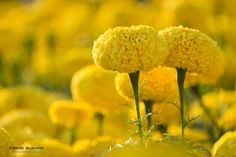 Marigold by MarieGuimar on 500px