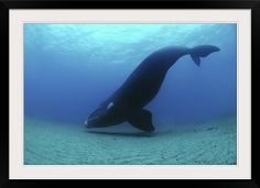 Southern right whale hovering over sandy seafloor