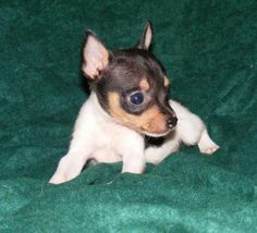 Toy Fox Terrier Dog Breed Pictures-alright so not a ratty per say but they make up part of what is a Ratty :)