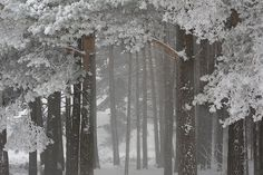 Into the forest of trees and snow