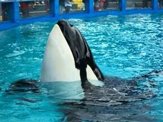 THIS IS LOLITA IM WORKING WITH HSUS TO FREE HER.FOR 40YRS SHES BEEN IN THE WORLDS SMALLEST TANK,ITS MADE FOR A DOLPHIN.HER TAIL TOUCHES BOTTOM AND SHES CONTINUOUSLY IN THE SUN.SHE HAS BEEN SWIMMING IN A CIRCLE IN MIAMI AQUARIUM FOR 40 yrs.she needs to go home.WE OWE HER THAT.