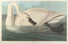"""The Birds of America, Plate #406: """"Trumpeter Swan"""", John James Audubon, 1827–1838, Transfer from the North Carolina State Library"""