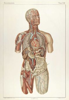 Framed Print - Vascular System of The Human Body (Picture Vintage Medical Art) Tattoos And Body Art human body art The Human Body, Human Body Organs, Medical Drawings, Medical Art, Illustrations Médicales, Human Body Anatomy, Muscle Anatomy, Human Figure Drawing, Medical Anatomy
