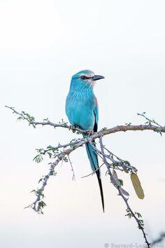 Beautiful sky blue bird.