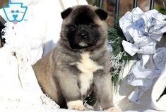This is an outstanding Akita pup who is ready to jump into your arms. She is a social butterfly who is surely to be the talk of the town. Akita Puppies For Sale, Baby Puppies For Sale, Cute Dogs And Puppies, Corgi Puppies, Black Labrador, Black Labs, Animal Photography, Equine Photography, Japanese Akita