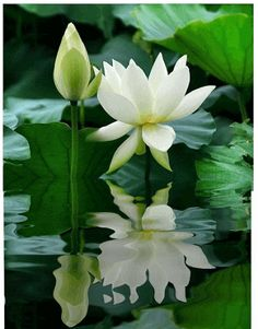 Water lily by Chart Lotus Flower Art, White Lotus Flower, White Flowers, Most Beautiful Flowers, Exotic Flowers, Beautiful Gardens, Flowers Gif, Flowers Nature, Art Floral