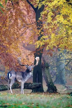 'Fallow deer in October colors' by Steen Karlsson on 500px*