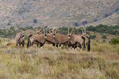 Antilopes gemsbok d'Afrique du Sud - Marie-Ange Ostré