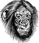 chimpanzee, pentekening, voorbeeld, leren schetsen