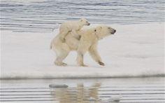 polar bear cubs | Polar bears spotted swimming with cubs on back: A polar bear cub rides ...