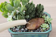 Learn how to properly water succulents in the winter
