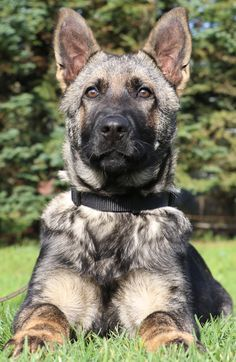 Page not found - Kraftwerk German Shepherds Baby Puppies, Dogs And Puppies, Doggies, Beautiful Dogs, Animals Beautiful, I Love Dogs, Cute Dogs, German Shepherd Puppies, German Shepherds