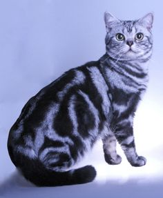Horatio - King of Taloriah Cattery  Classic American Shorthair Silver Tabby