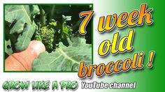 My 7 week old broccoli pants Propagation, Broccoli, Channel, Gardening, Youtube, Pants, Trouser Pants, Garten, Women's Pants