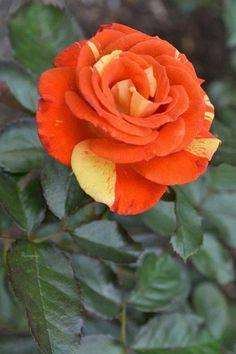 """"""" Orange rose """" Roses iun the garden Beautiful Rose Flowers, Love Rose, Flowers Nature, Exotic Flowers, Amazing Flowers, Beautiful Flowers, Orange Roses, Pink Roses, Yellow Roses"""