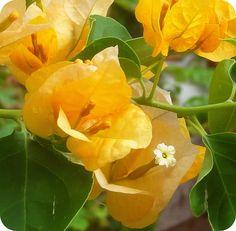 yellow bougainvillea                                                       …