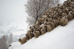 These 26 Photos Capture A Side Of Sheep That You NEVER Imagined...