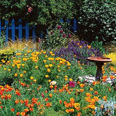 In this springtime scene from Sunset's test garden in Menlo Park, California, drifts of California poppies (Eschscholzia californica) are backed by ornamental grass, purple Spanish lavender (Lavandula stoechas), and a tree mallow with rosy blooms. The poppies reseed freely.