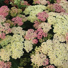 'Pineapple Mango' Yarrow. An ideal plant for beginning gardeners, yarrow holds up to heat and drought, blooms for a long time, and offers great resistance to deer and rabbits. Plus, it's perfect for attracting butterflies! 'Pineapple Mango' is a fun variety that changes colors in the garden. The blooms start pink and then fade to salmon-yellow before finishing pale primrose.