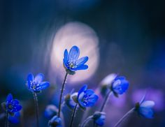 Spring Time by Lauri Lohi - Photo 148947287 - Bokeh Photography, Landscape Photography, Flower Photography, Tree Mushrooms, Blurred Background, Spring Time, Blue Flowers, Natural, Mother Nature