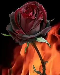 My hot desire is strong and passionate. Wallpaper Nature Flowers, Beautiful Landscape Wallpaper, Flowers Gif, Beautiful Rose Flowers, Beautiful Gif, Rose Wallpaper, Love Rose, Flower Boxes, My Flower