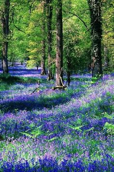The goodness of a bluebell forest. Love how Mother Nature dresses up to cheer us!
