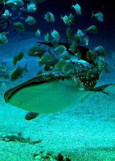 Kaiyukan - Whale Shark