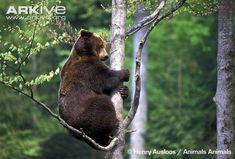 Brown bear climbing a tree