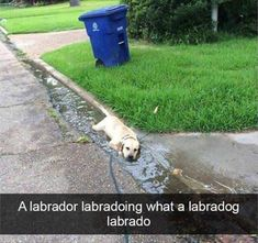 5 Funny Animal Pictures Of Today - #funnymemes #funnypictures #funnyanimals #funny #lol #haha #memes #funnytexts #funnyquotes #labrador #dogquotes