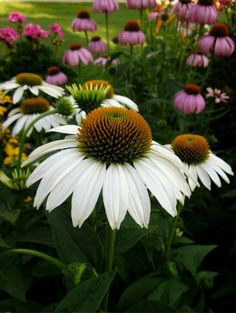 I'm always on the search for new colors of cone flowers