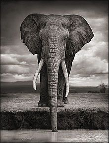 View Elephant drinking, Amboseli by Nick Brandt on artnet. Browse upcoming and past auction lots by Nick Brandt. Nick Brandt, Wild Life, Beautiful Creatures, Animals Beautiful, Cute Animals, Wild Animals, Beautiful Images, Baby Animals, Large Animals