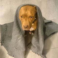 Destroy the Sith, we must.  ____________________________________  #pitbull #pitbullsofinstagram #dontbullymybreed #pit #dog #rednose #dogs #pitbulllove #bully #adoptdontshop #apbt #bullybreed #pitbulladvocate #pitbulllife #pitstagram #mansbestfriend #adopt #pitbulllover #bestfriend #starwars #yoda #sith #lukeskywalker #theforce #maytheforcebewithyou #pies #gwiezdnewojny #concretus #starwars