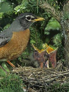 john-barbara-gerlach-american-robin-at-its-nest-with-two-baby-birds-turdus-migratorius-north-america.jpg 366×488 pixels