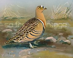 """NOT A COPY This lithograph was published by The Field Museum of Natural History Chicago in 1930 issued in portfolio with title: """"Abyssinian birds and mamals"""". This first ed... #grouse #partridge #heathcock"""