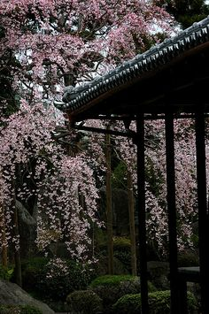 Weeping Cherry Blossoms, Japan